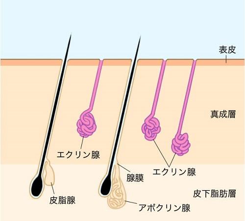アポクリン汗腺とエクリン汗腺