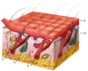 汗腺の仕組み